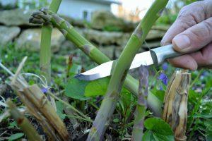 Asparagus cut by a Rada Peeling Paring.