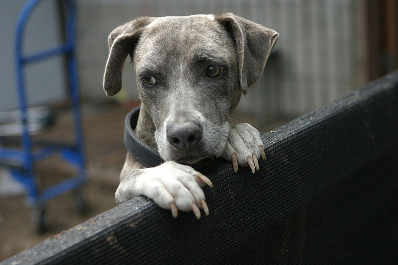A shelter dog awaits a new home.