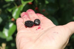 Blackberry or Black Raspberry