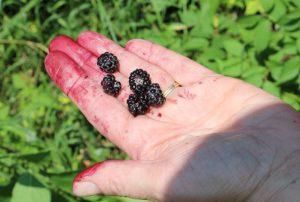Picking wild black raspberries